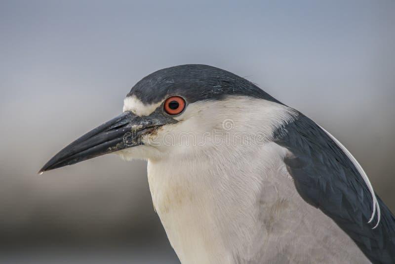 oiseau Noir-couronné d'océan de Nuit-héron avec le coffre supérieur et arrière et blanc bleu et les yeux rouges photos stock
