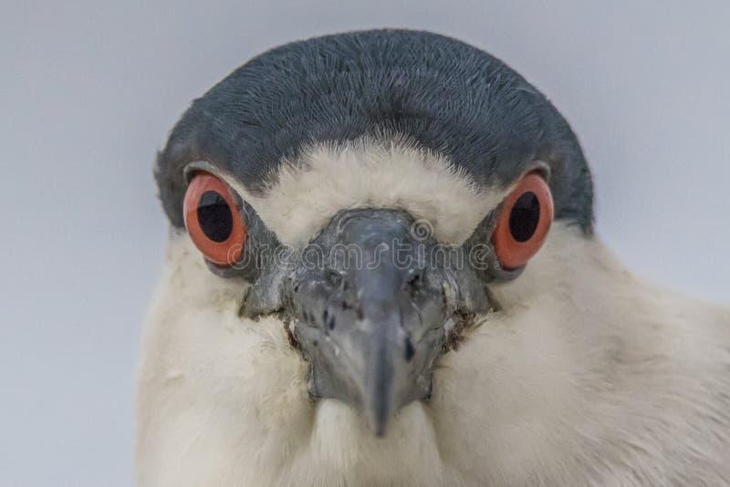 oiseau Noir-couronné d'océan de Nuit-héron avec le coffre supérieur et blanc bleu et les yeux rouges de l'avant regardant la camé photos stock