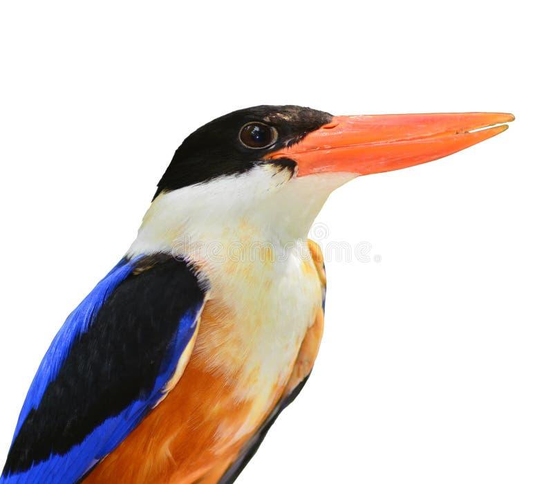 oiseau Noir-couvert de martin-pêcheur images libres de droits