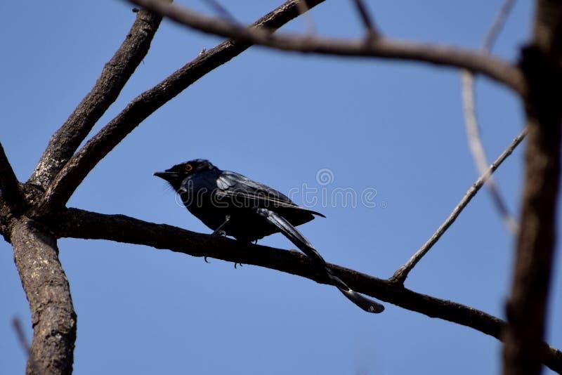Oiseau noir de bulbul photo stock