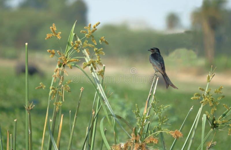 Oiseau noir de Drongo photos libres de droits