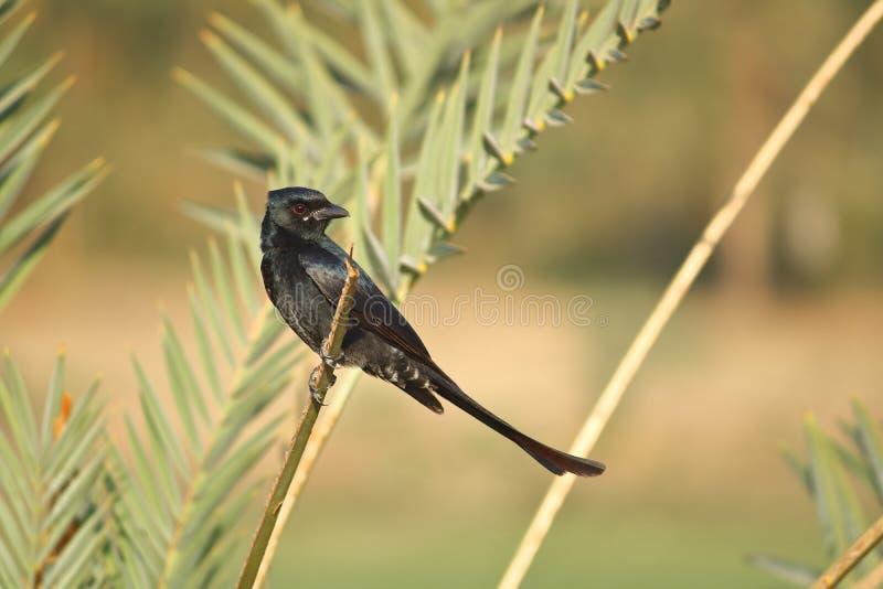 Oiseau noir de Drongo photo stock