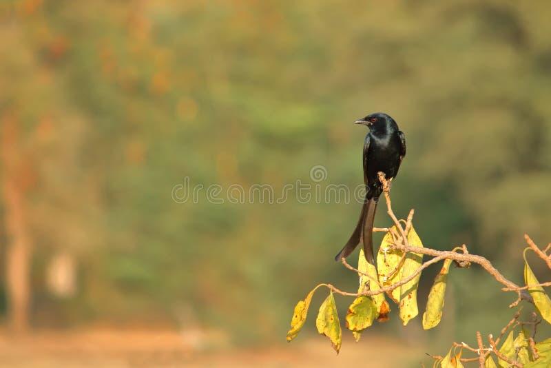 Oiseau noir de Drongo image libre de droits