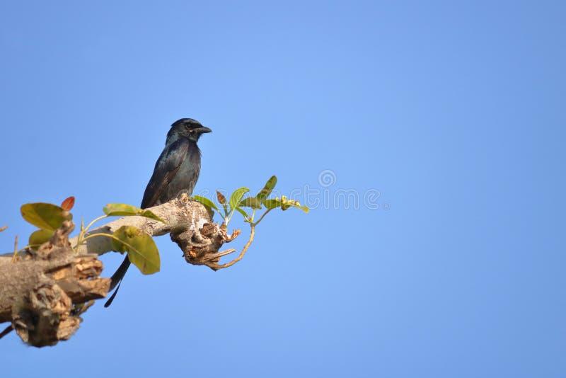 Oiseau noir de Drongo photographie stock