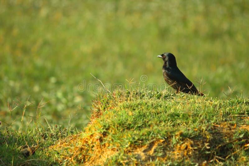 Oiseau noir de Drongo photo libre de droits