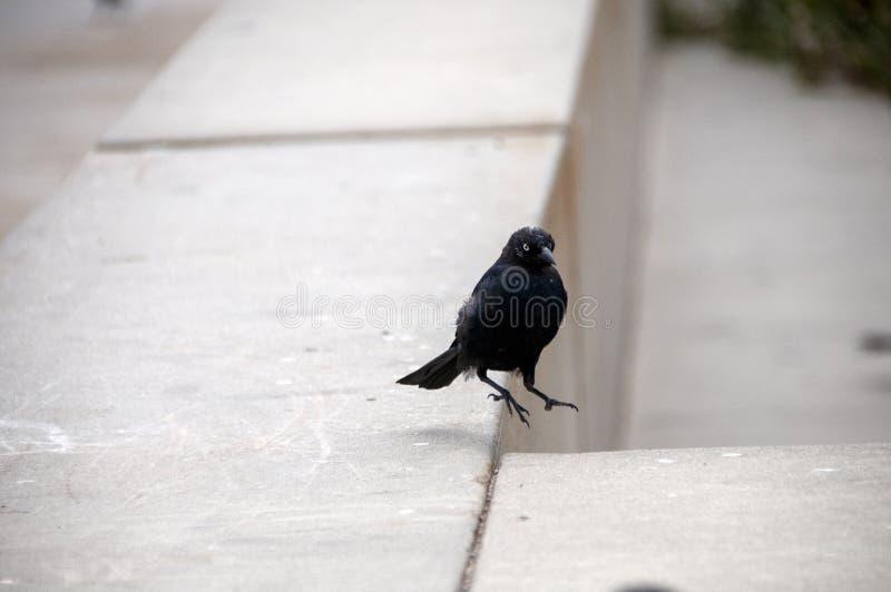 Oiseau noir de flottement image stock