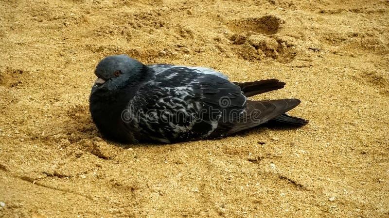 Oiseau noir de pigeon image stock