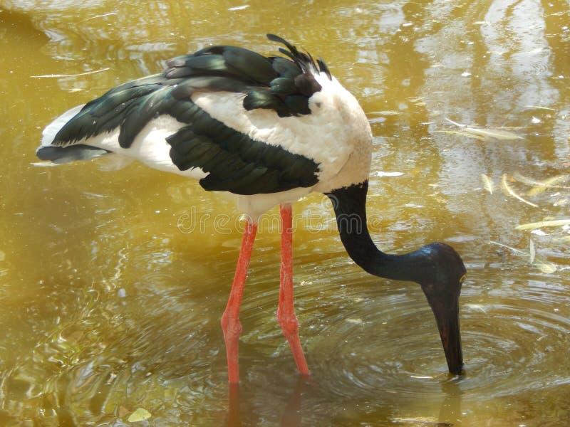 Oiseau noir et blanc photographie stock libre de droits