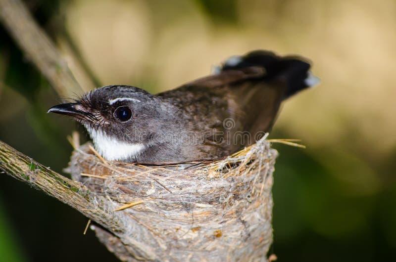 Oiseau noir et blanc mignon de roitelet du ` s de la Thaïlande Bewick sur son nid dans la fin  photographie stock