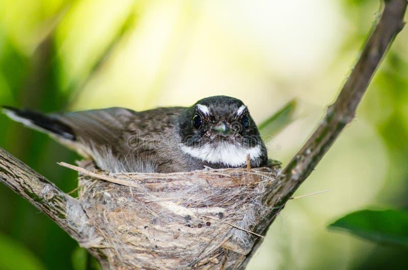 Oiseau noir et blanc mignon de roitelet du ` s de la Thaïlande Bewick sur son nid dans la fin  photos stock