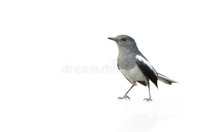 Oiseau noir et blanc, pie Robin d'isolement sur le fond blanc photos stock