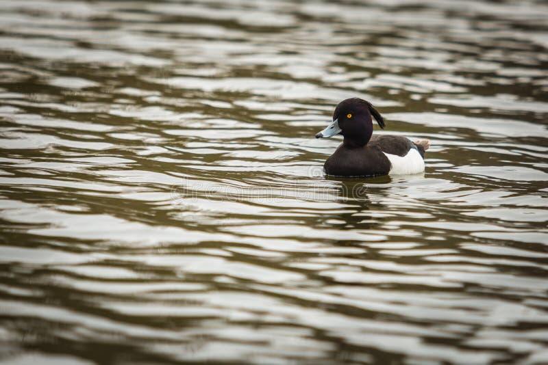 Oiseau noir et blanc sauvage, canard tufté sur l'eau photo stock