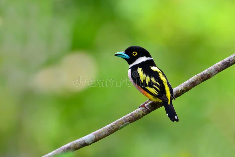 Oiseau Noir-et-jaune de Broadbill image stock