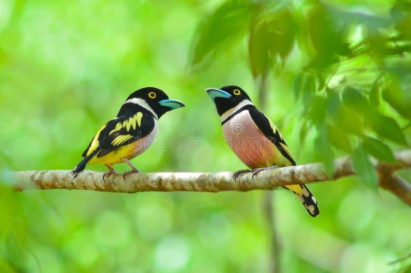 Oiseau noir et jaune de Broadbill image stock