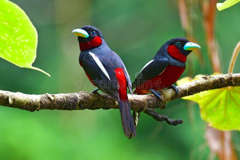 Oiseau noir et rouge de Broadbill images stock