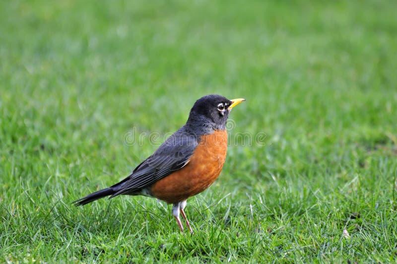 oiseau noir Orange-gonflé sur la pelouse images libres de droits
