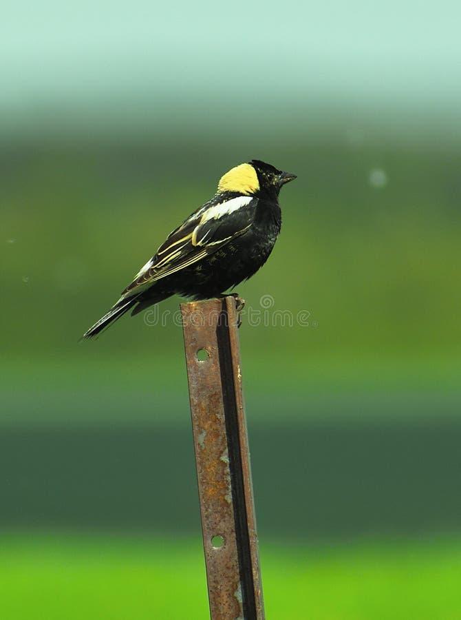 Oiseau noir se reposant sur la barrière photos stock