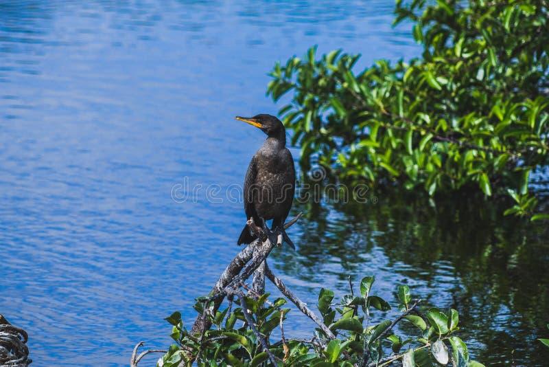 Oiseau noir se tenant stoïque sur une branche photos stock