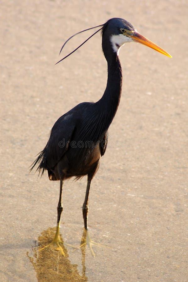 Oiseau noir sur la plage photo libre de droits