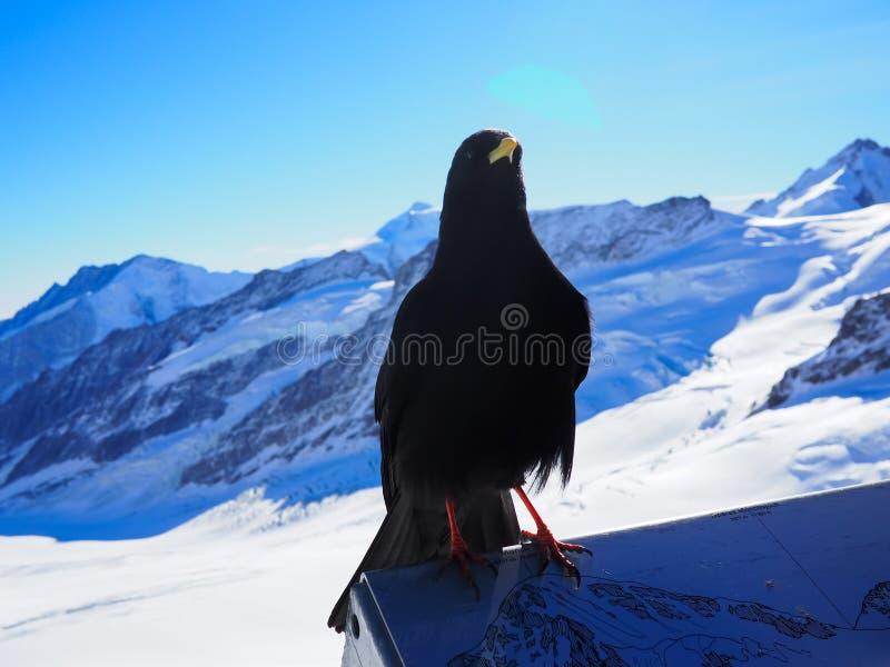 Oiseau noir sur le jungfrua images libres de droits