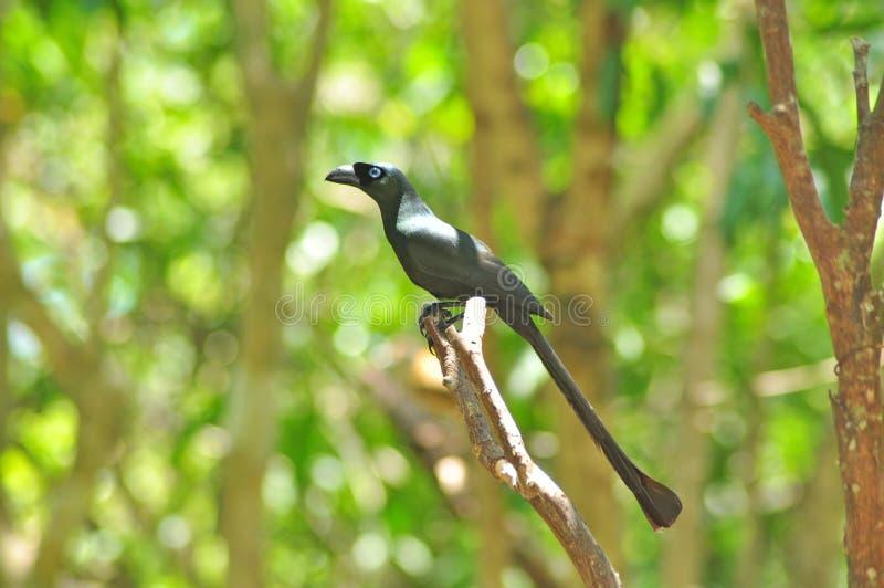 Oiseau noir (Treepie Raquette-suivi) images stock