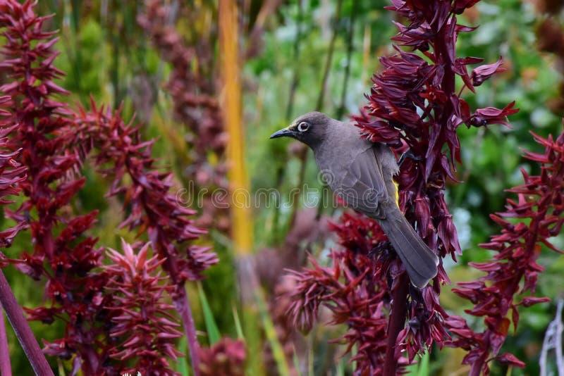 Oiseau non identifié, Kirstenbosch, Afrique du Sud photo stock