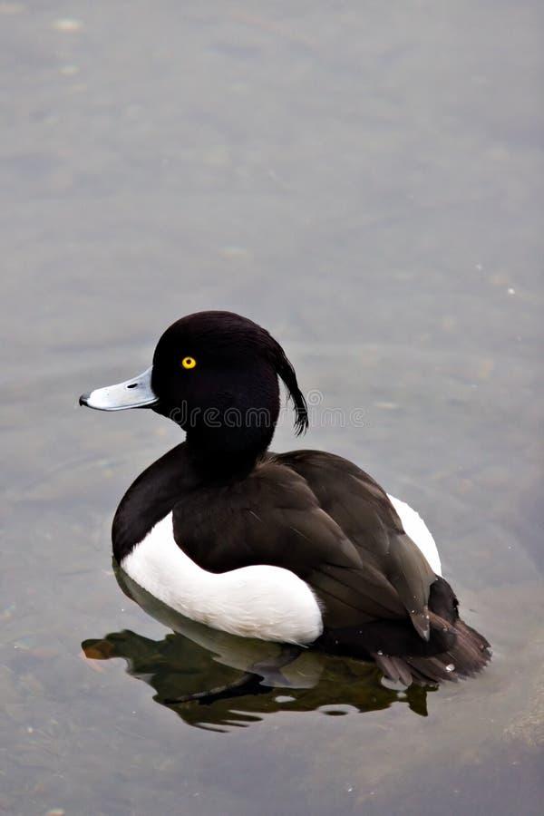 Oiseau observé par jaune images stock
