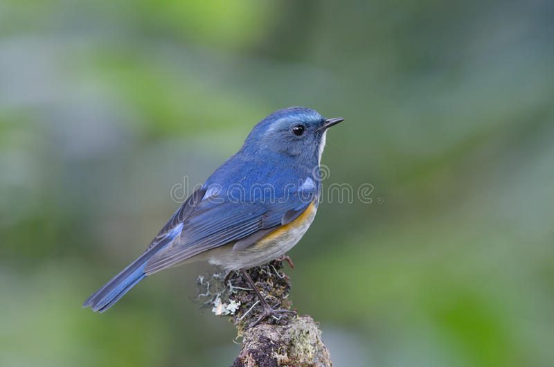 Oiseau, oiseau bleu, rufilatus de l'Himalaya de Bluetail Tarsiger image libre de droits