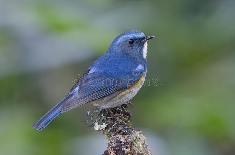 Oiseau, oiseau bleu, rufilatus de l'Himalaya masculin de Bluetail Tarsiger photo libre de droits