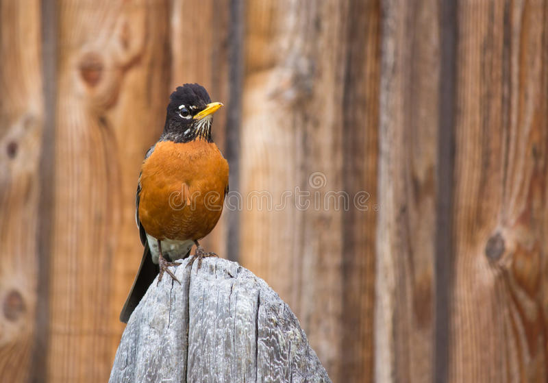 Oiseau orange de Robin été perché sur le poteau en bois images stock