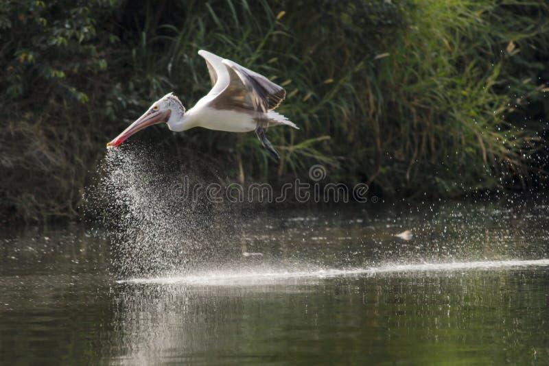 Oiseau - pélican image stock