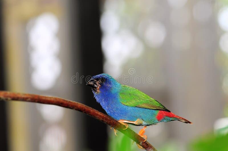 Oiseau, Parrotfinch Bleu-fait face photos libres de droits