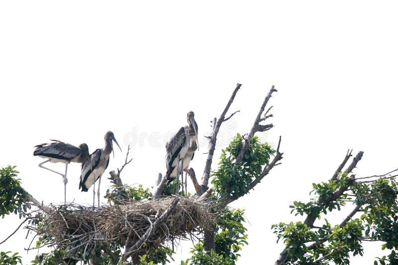 Oiseau peint de cigogne images libres de droits