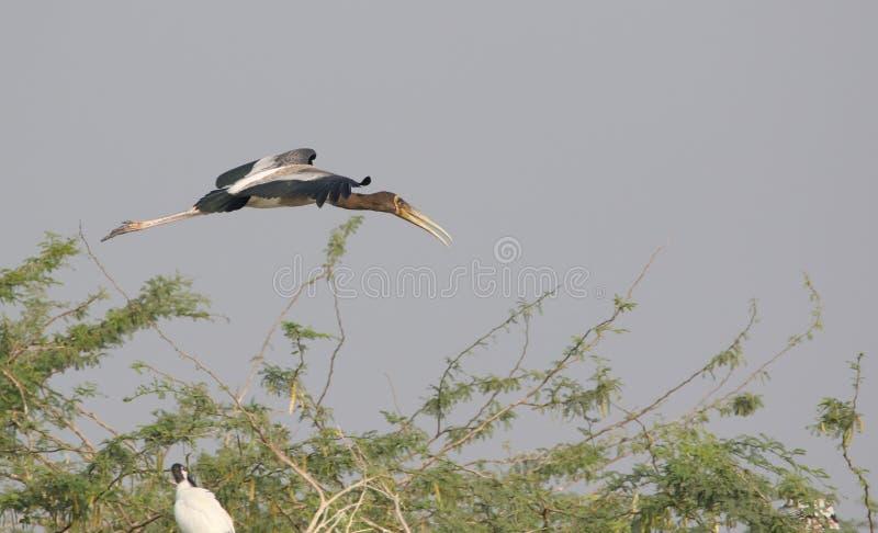 Oiseau peint non mûr de cigogne photographie stock