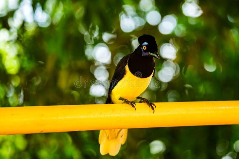 oiseau Peluche-crêté de geai photo stock