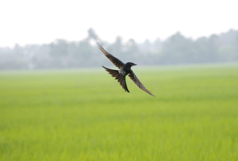 oiseau pilotant le drongo noir avec les ailes répandues en air au-dessus de vert image stock