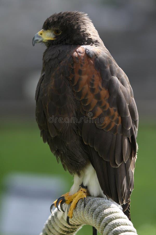 Oiseau prédateur photos stock