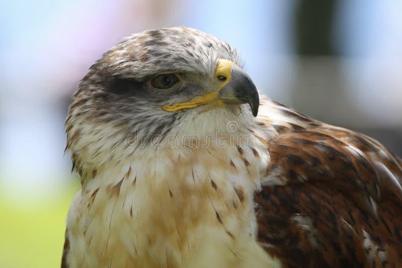 Oiseau prédateur images stock