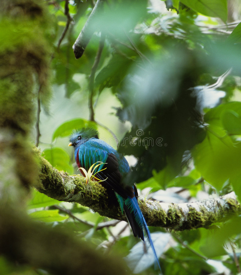 Oiseau Qutzal image stock