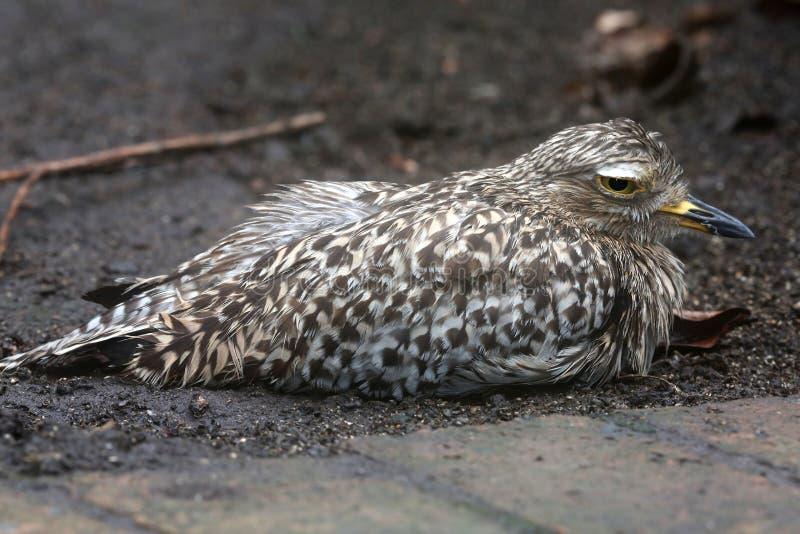 Oiseau repéré d'épais-genou ou de dikkop photographie stock