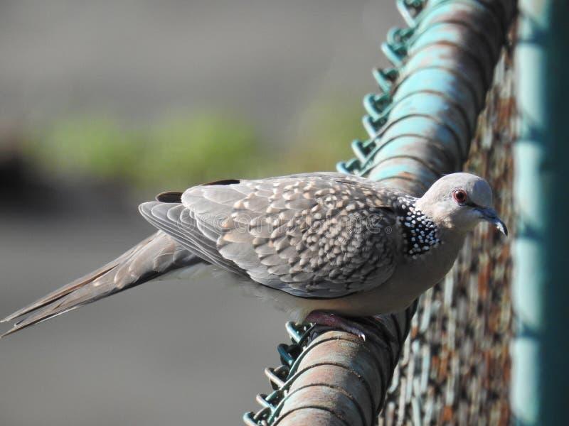 Oiseau repéré de colombe, Chitagong photos stock