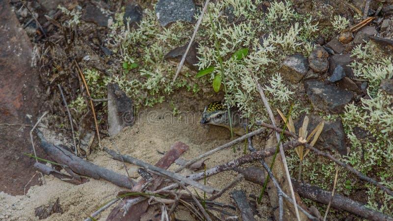 Oiseau repéré femelle de Pardalote dans NSW Australie image stock