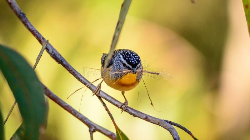 Oiseau rep?r? de Pardalote en Australie image stock