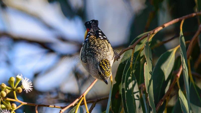 Oiseau rep?r? de Pardalote en Australie images libres de droits