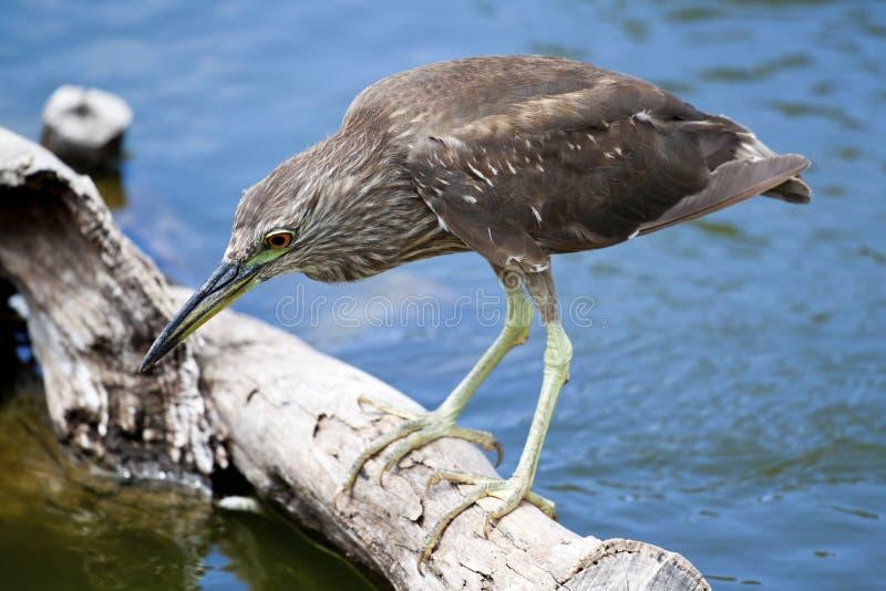 Oiseau restant sur le logarithme naturel photographie stock libre de droits