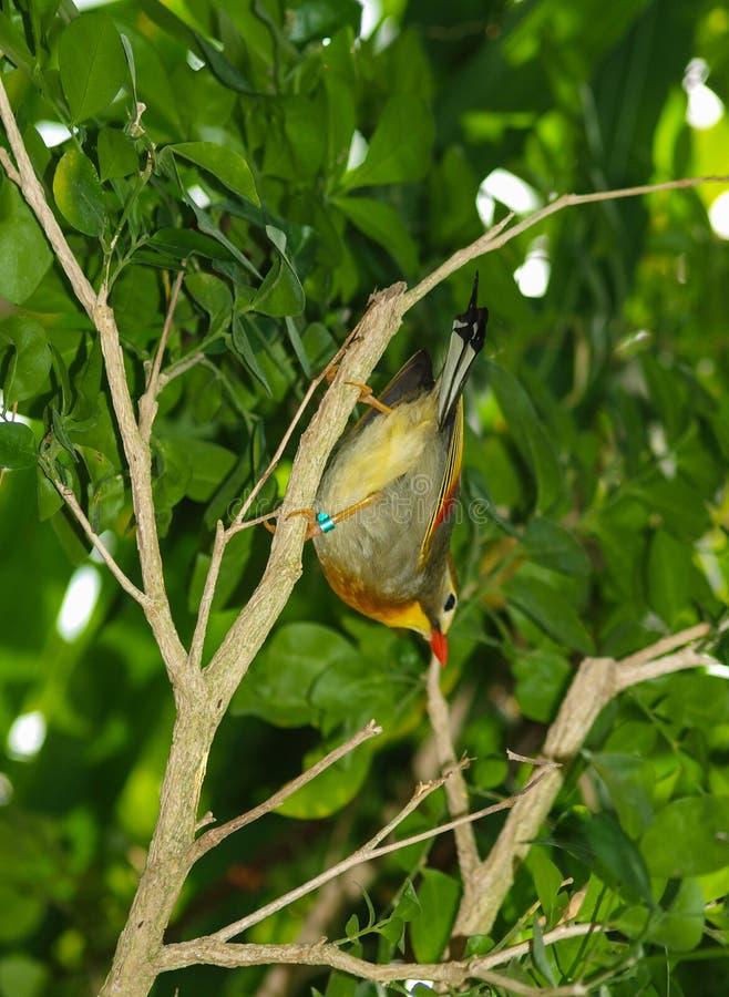 Oiseau Rouge-affiché Leiothrix Lutea de Leiothrix photographie stock