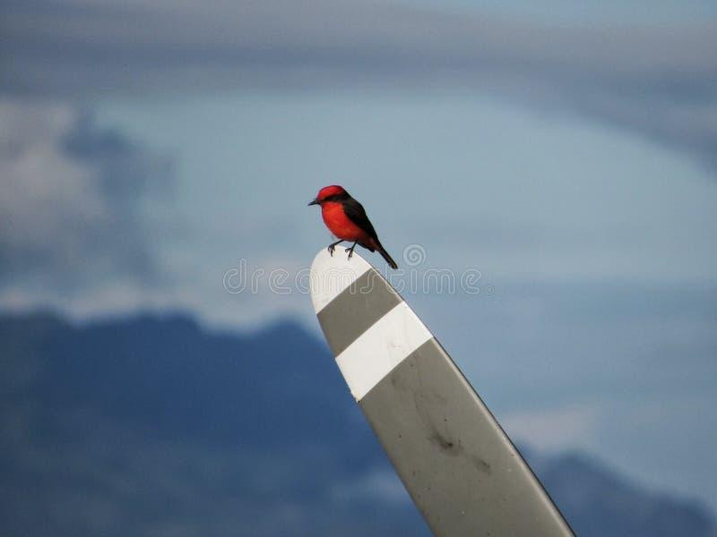 Oiseau rouge avec le propulseur photographie stock