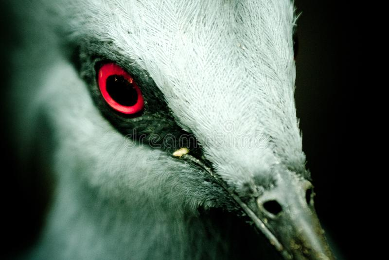 Oiseau rouge d'oeil images libres de droits