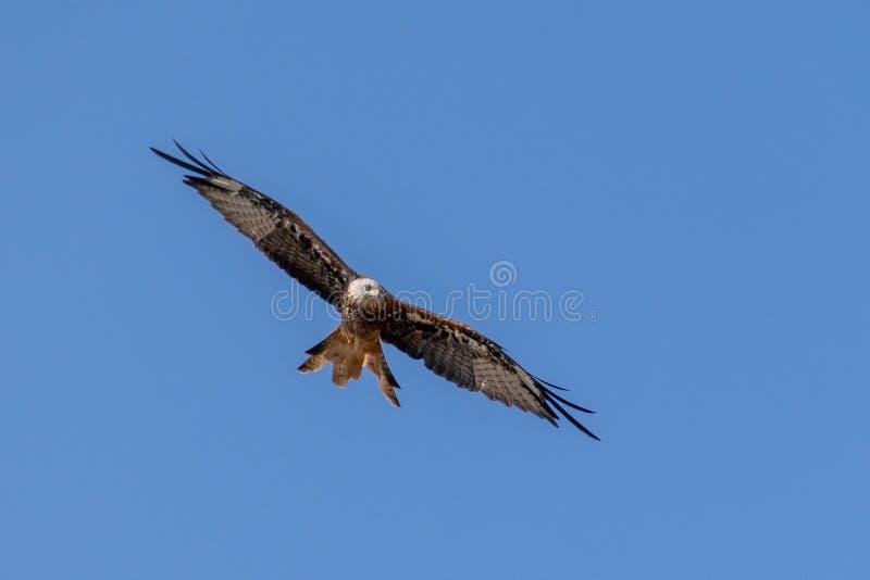 Oiseau rouge de cerf-volant des courants ascendants montants de proie en été image stock