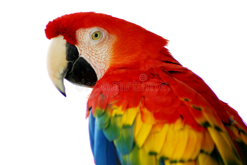 Oiseau rouge de Macaw d'isolement photo stock